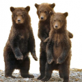 Bears Watching
