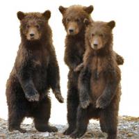 Bears Watching